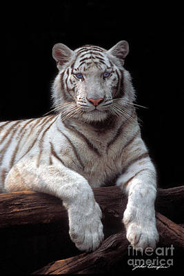 Photograph - White Tiger by John Douglas