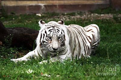 Photograph - White Tiger by John Rizzuto