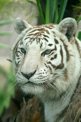 Photograph - White Tiger by Karen Lindquist
