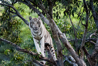 Exotic Creatures Photograph - White Tiger On The Tree by Jenny Rainbow
