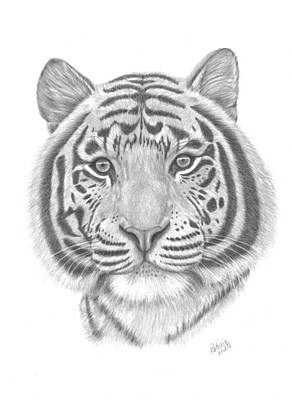 Drawing - White Tiger by Patricia Hiltz