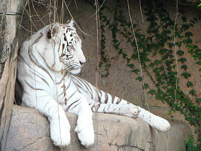 White Tiger Resting Art Print by Phyllis Beiser