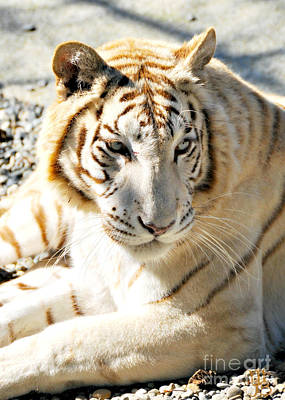 Photograph - White Tiger Sunbathing by Mindy Bench