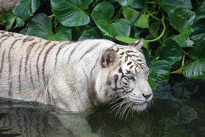 Thomas Kinkade - White Tiger Swimming by Jit Lim