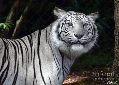 Photograph - White Tiger by Wanda Krack