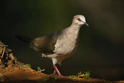 White-tipped Dove (leptotila Virreauxi Art Print by Larry Ditto