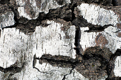 White Tree Bark Art Print