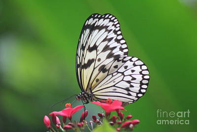 Photograph - White Tree Nymph Butterfly by David Grant