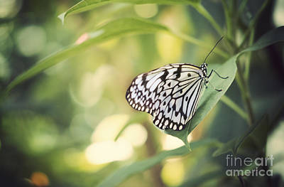Black And White Insect Photograph - White Tree Nymph by Juli Scalzi