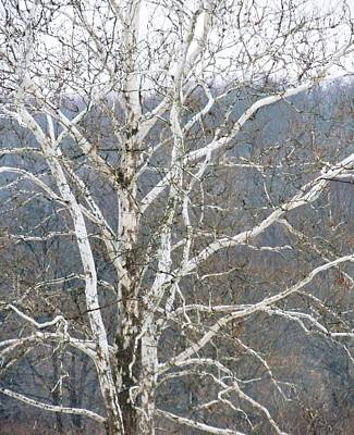 Photograph - White Tree by Todd Sherlock