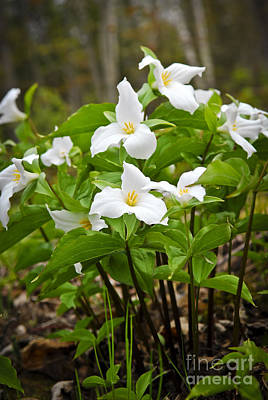 Several Photograph - White Trillium by Elena Elisseeva
