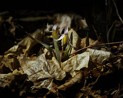 Photograph - White Trout Lilies by Michael Dougherty