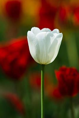 White Tulip - Featured 3 Art Print by Alexander Senin