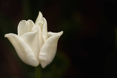 Art Print featuring the photograph White Tulip by Jacqui Boonstra