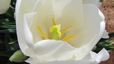 Photograph - White Tulip by Joyce Woodhouse