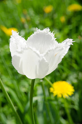 Photograph - White Tulip On The Green Background by Michael Goyberg