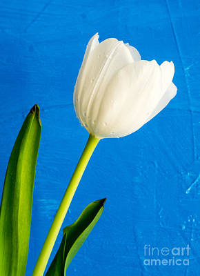 White Flower Photograph - White Tulip Over Blue by Edward Fielding