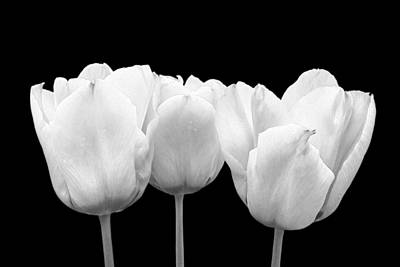Photograph - White Tulip Triple On Black by Gill Billington