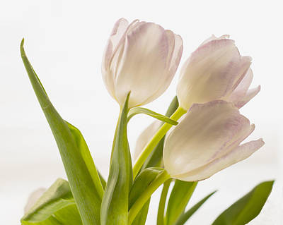 Photograph - White Tulips by Diane Bell