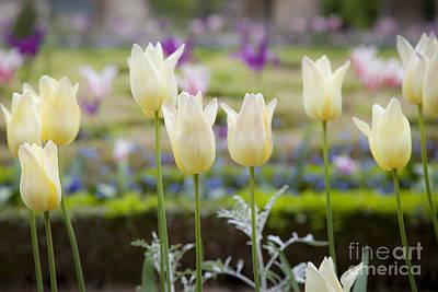 Photograph - White Tulips In Parisian Garden by Brian Jannsen