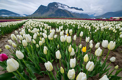 Agassiz Photograph - White Tulips by James Wheeler