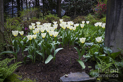 Photograph - White Tulips by Louise Magno