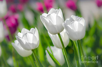 Photograph - White Tulips by Michael Arend