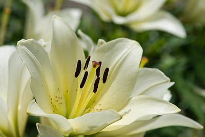 Lilies Photograph - White Velvet - Featured 3 by Alexander Senin