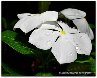 Photograph - White Vincas by Laura DAddona