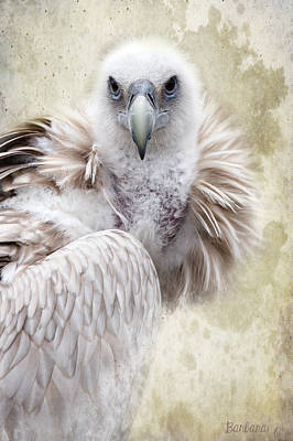 White Vulture  Art Print