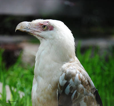 Photograph - White Vulture by DiDi Higginbotham