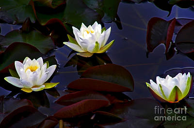 Photograph - White Water Lilies by Nina Ficur Feenan