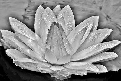 White Water Lily After The Shower - Black And White - Longwood Gardens Art Print by Kim Bemis