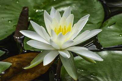 Photograph - White Water Lotus by Gene Norris