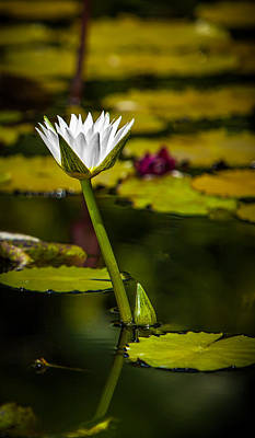 Photograph - White Water Lily by Julio Solar