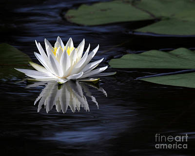 Photograph - White Water Lily Left by Sabrina L Ryan