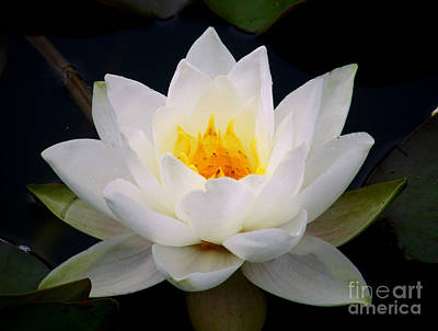 Photograph - White Water Lily by Nina Ficur Feenan