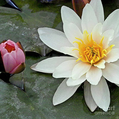 White Water Lily Nymphaea Art Print by Heiko Koehrer-Wagner