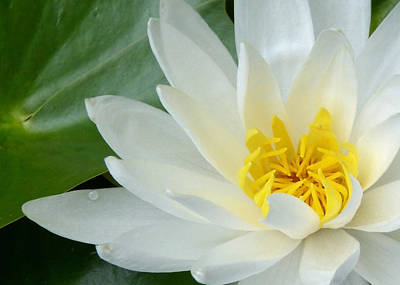 Photograph - White Water Lily by Pete Trenholm