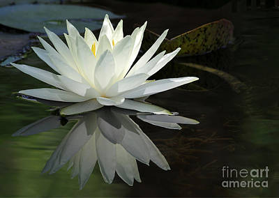 White Water Lily Reflections Print by Sabrina L Ryan