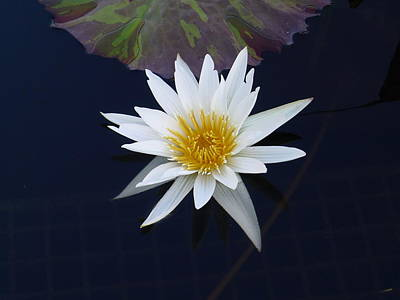 Photograph - White Water Lily by Richard Reeve