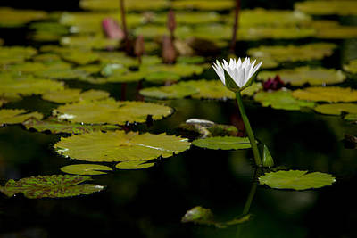 Photograph - White Water Lily Uncropped by Julio Solar