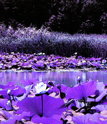 Photograph - White Water Lotus In Violet by Shawna Rowe