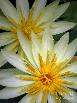 Photograph - White Waterlilies by Amber Nissen