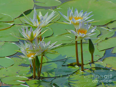 Photograph - White Waterlilies by Audrey Van Tassell