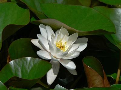 Photograph - White Waterlily Lotus by Barbara St Jean