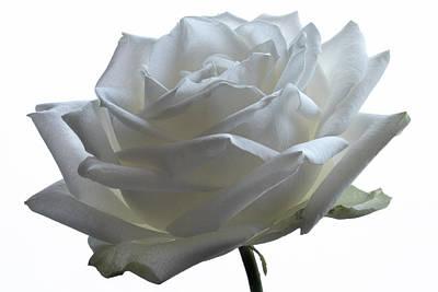White Wedding Rose. Original by Terence Davis