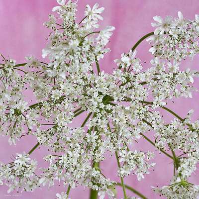 Cow Parsley Wall Art - Photograph - White Wild Cow Parsnip Flower by Sandra Foster