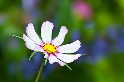 Photograph - White Wildflower by Joan Herwig