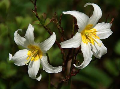 Photograph - White Wildflowers 2 by Robert Lozen